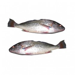 FROZEN SOUTH AMERICAN YELLOW CROAKER 6KG (APPROX 500+G)